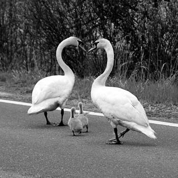 Swan Heart with Babies BW by Matthew Grice