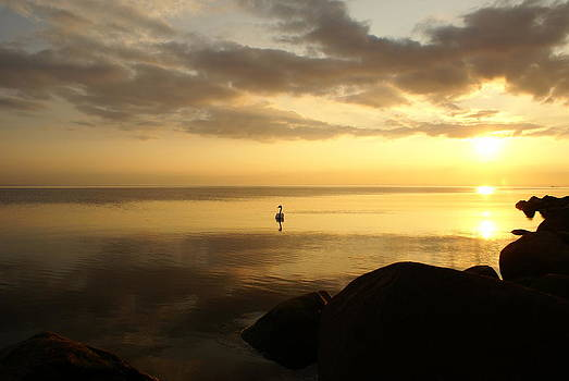 Gynt   - Swan in sea at sunset