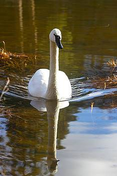 Swan by Michael Blesius