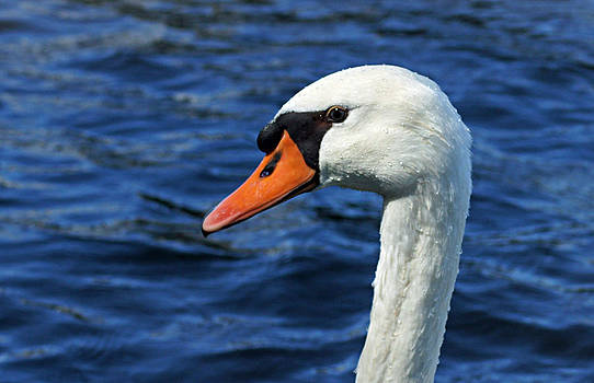 Swan On The Lake by Thomas Fouch