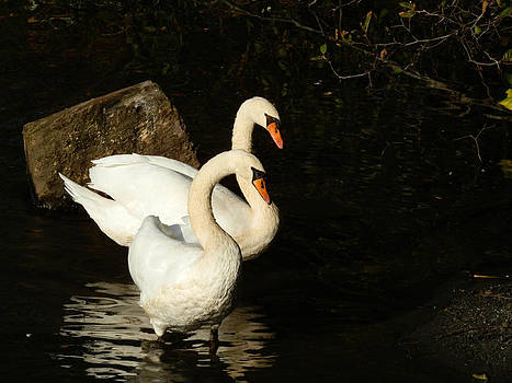 Swan Pair by Heather Sylvia