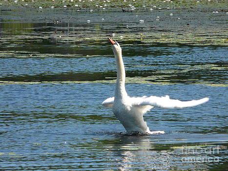 Swan Take Off by Glass Slipper