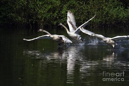 Swan Take-Off by Jeremy Hayden