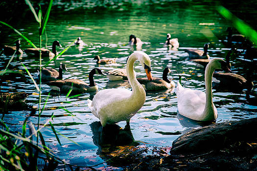 Swans and ducks together by Boris Mordukhayev