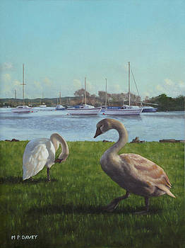 Martin Davey - swans at Christchurch harbour