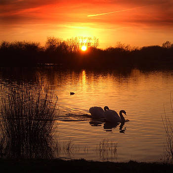 Swans at Sunset by Ed Pettitt