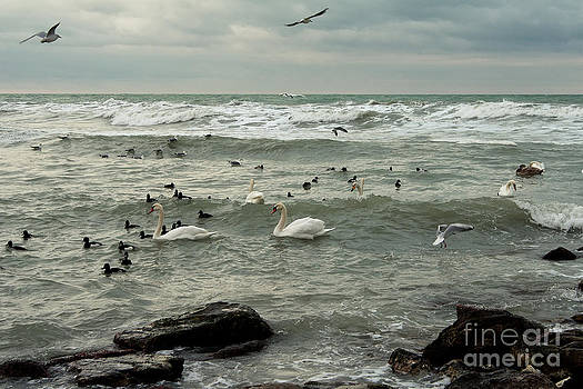 Swans Braving Icy Winter Ocean. by Alexandr  Malyshev