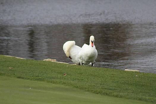 Swans by Carolyn Ricks