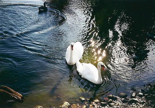 Swans by Cynthia Hilliard