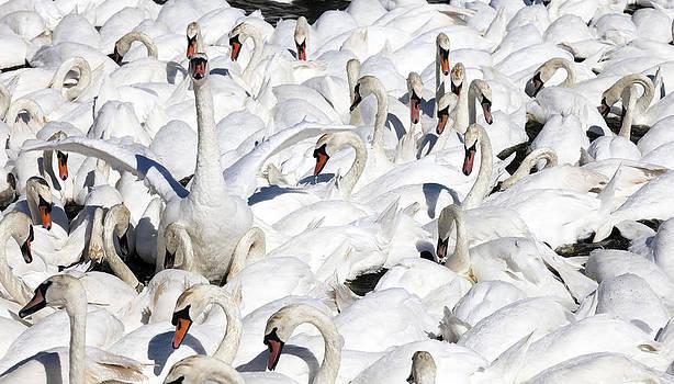 Swans by Gillian Dernie
