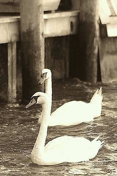 Swans In Cherry Grove by Gillis Cone