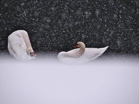 Sandy Tolman - Swans in Falling Snow - 5838-3