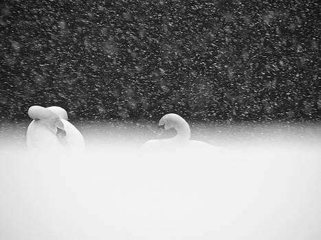 Sandy Tolman - Swans in Falling Snow - 8536-3 BW