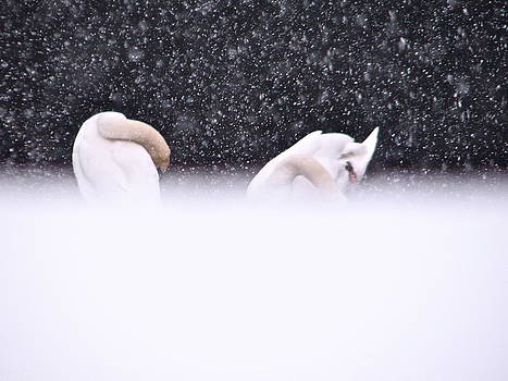 Sandy Tolman - Swans in Falling Snow - 8545-5