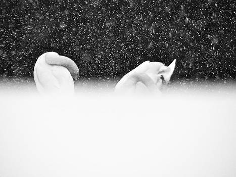 Sandy Tolman - Swans in Falling Snow - 8545-6 BW