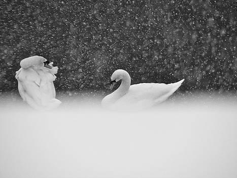 Sandy Tolman - Swans in Falling Snow - 8539-7 BW 1