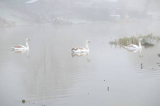 Mark Severn - swans in fog