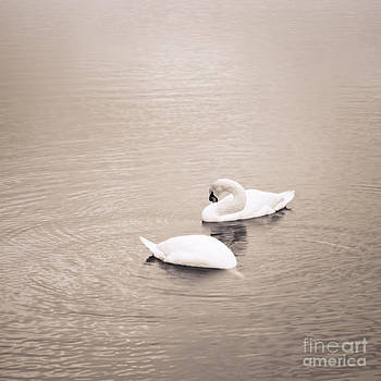 Lisa McStamp - Swans in Winter