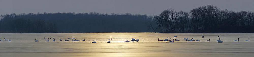 Swans by Jann Kline
