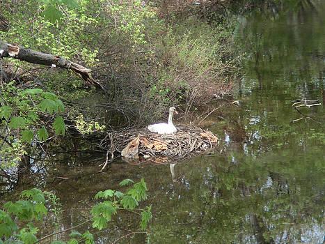 Swan's Nest by Kate Koehn