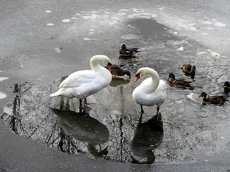Swans on Thin Ice by Brian Chase