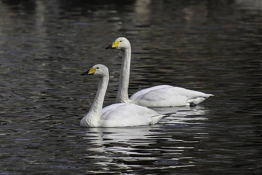 Qing  - Swans Waltz
