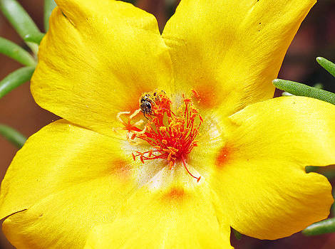 Sweat Bee on Rock Rose Two by Walter Klockers