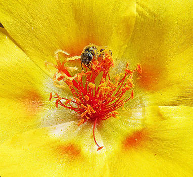 Sweat Bee on Rock Rose by Walter Klockers