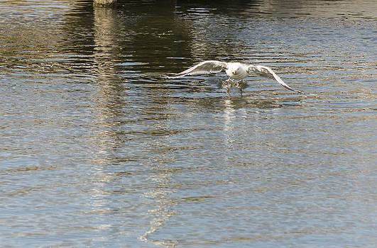 Angela A Stanton - Swedish Seagull Taking Off