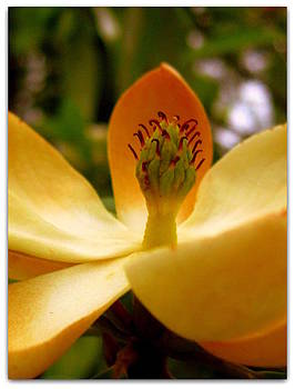 Sweet Bay Magnolia by Jhoy E Meade