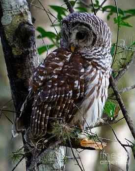 Patricia Twardzik - Sweet Faced Barred Owl