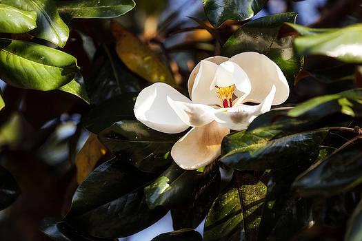 Sweet Magnolia by Sennie Pierson