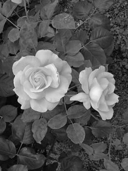 Charles Lucas - Sweet Rose