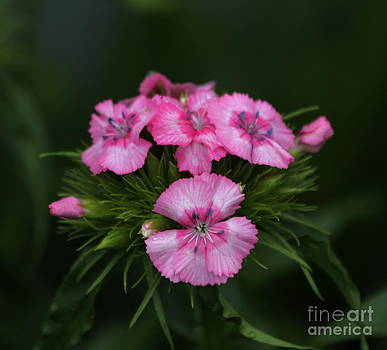 Sweet William Flower by Marjorie Imbeau
