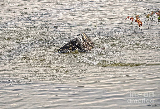 Swimming Osprey by Skye Ryan-Evans