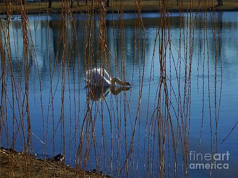 Swimming Swan on Blue Water by Robert D  Brozek