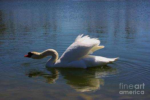 Swimming Swan by Robert D  Brozek