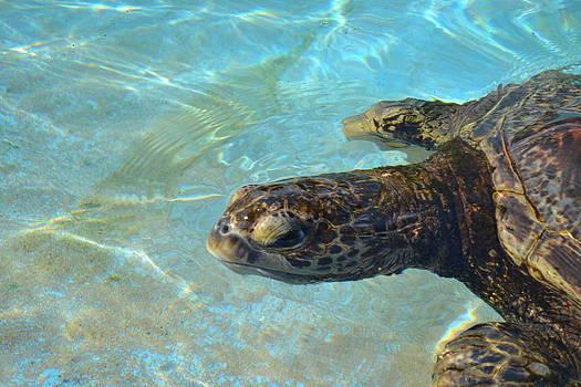Swimming Turtle by Amanda Eberly-Kudamik