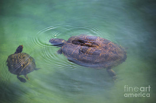 Dale Powell - Swimming Turtles