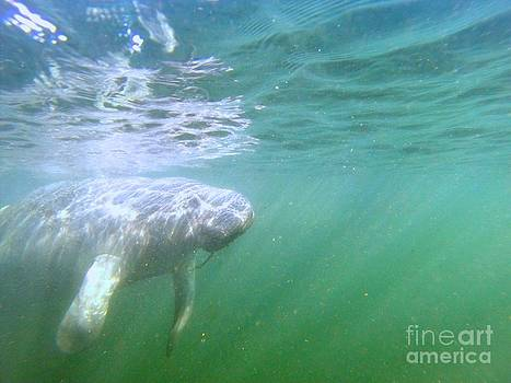 Swimming with Manatees No.3 by Parker O'Donnell