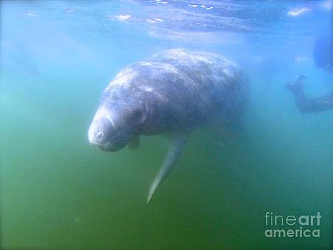 Swimming with Manatees by Parker O'Donnell