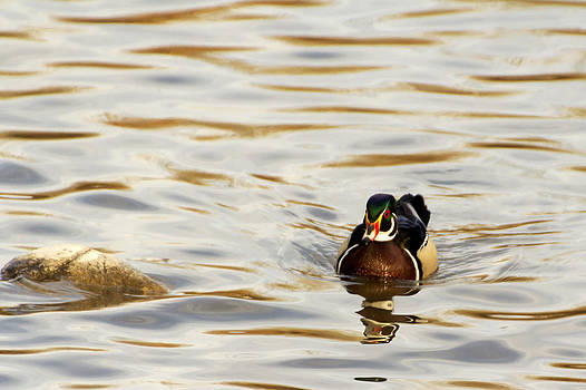 Swimming Wood Duck by Dana Moyer
