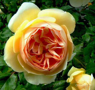 Diana Besser - Swirled Rose