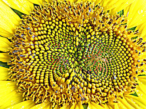 Swirling Sunflower Bloom by Kim Galluzzo Wozniak