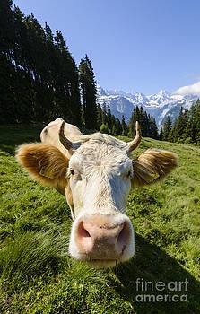 Oscar Gutierrez - Swiss Cow