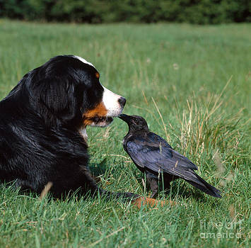 Tierbild Okapia - Swiss Mountain Dog And Crow