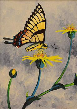 Swallowtail Butterfly on Cowpen Daisy by Anguspaul Reynolds