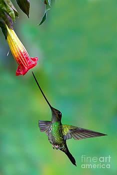 Anthony Mercieca - Sword-billed Hummingbird