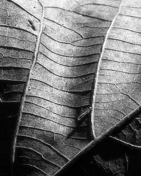 Erin Tucker - Sycamore Leaf