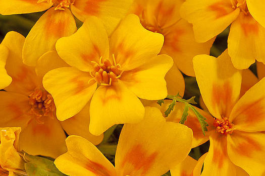 Sandra Foster - Tagette Marigold Blossoms Macro